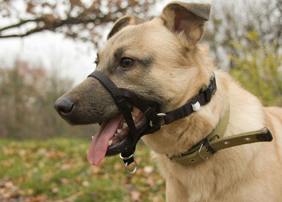 """Coleira para cachorro: cachorro usando um """"headcollar"""""""