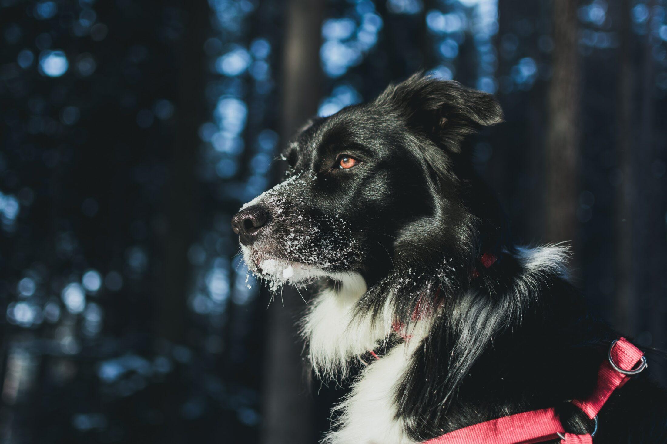 cachorro de coleira peitoral