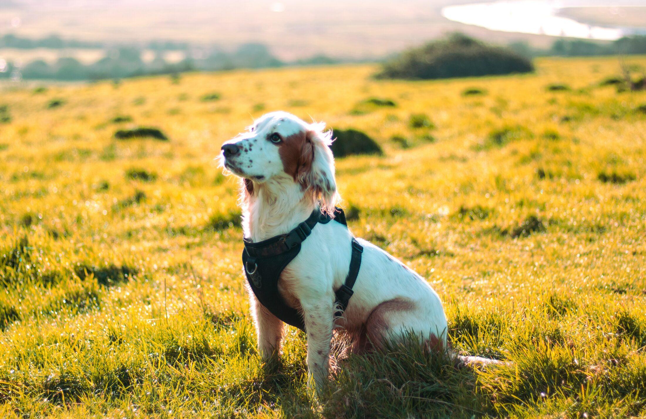 cachorro sentado no campo com coleira peitoral