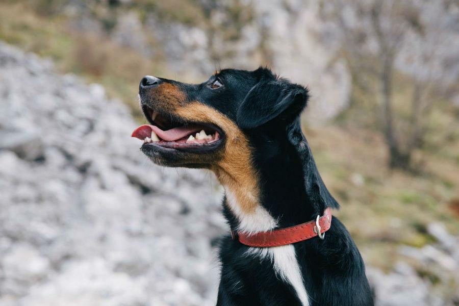 Coleira para cachorro: cachorro mistura de Doberman com coleira tradicional