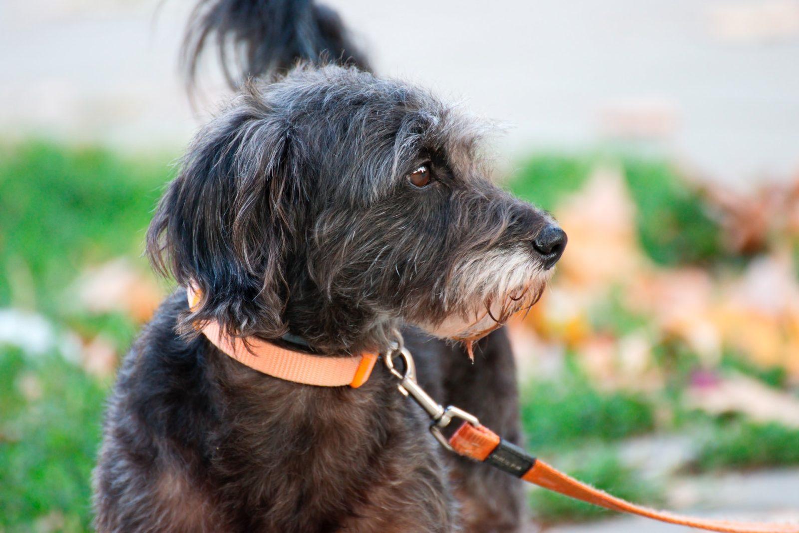 A coleira calmante antiestresse pode ajudar o seu cachorro a ficar mais calmo e evitar a depressão.