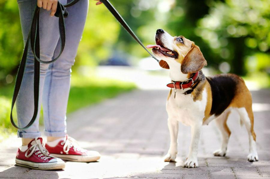 Coleira para cachorro: Beagle de coleira e guia passeando com seu dono no parque