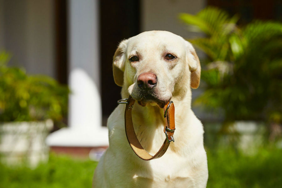Coleira para cachorro: Labrador retriever com coleira na boca à espera de um passeio