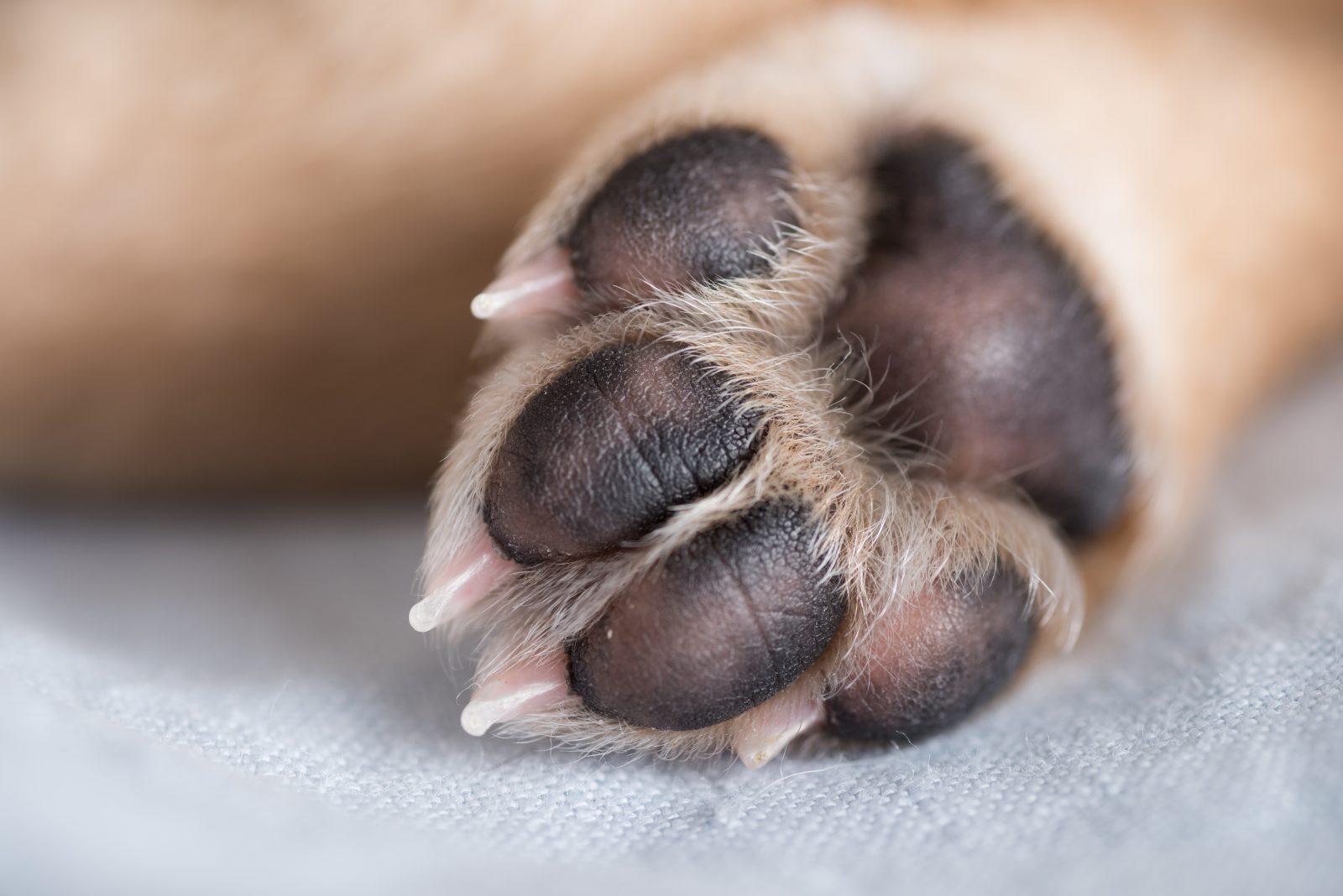 como cortar unha de cachorro: pata mostrando as unhas e almofadas