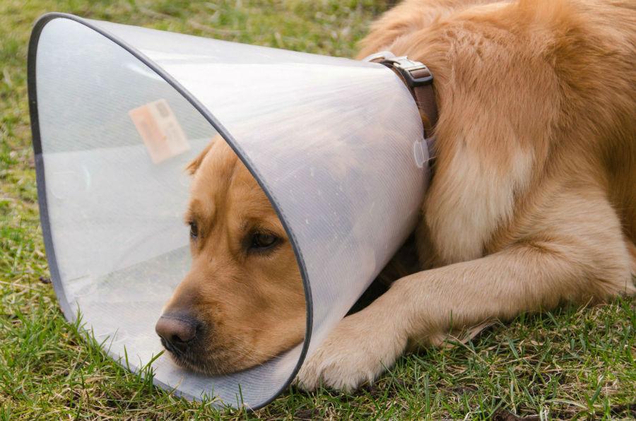 Cachorro doente se recuperando de cirurgia com cone na cabeça para não lamber as feridas.