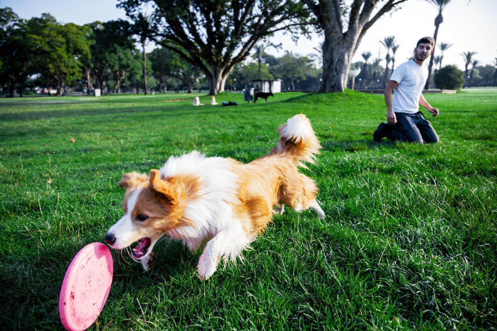 Como diminuir o estresse: Border Collie brincando de frisbee no parque com o seu dono.