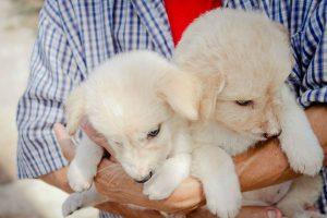 como escolher filhote cachorro ideal