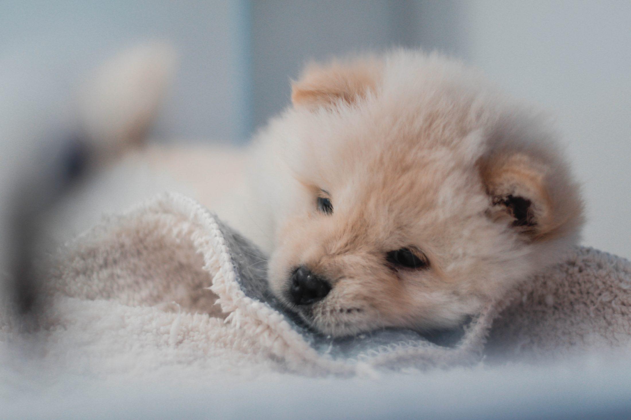 Antes de aprender como fazer filhote de cachorro dormir a noite toda. esteja preparado.