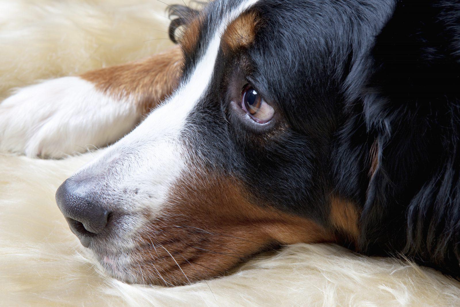 Cachorro morto: Beagle doente deitado descansando.