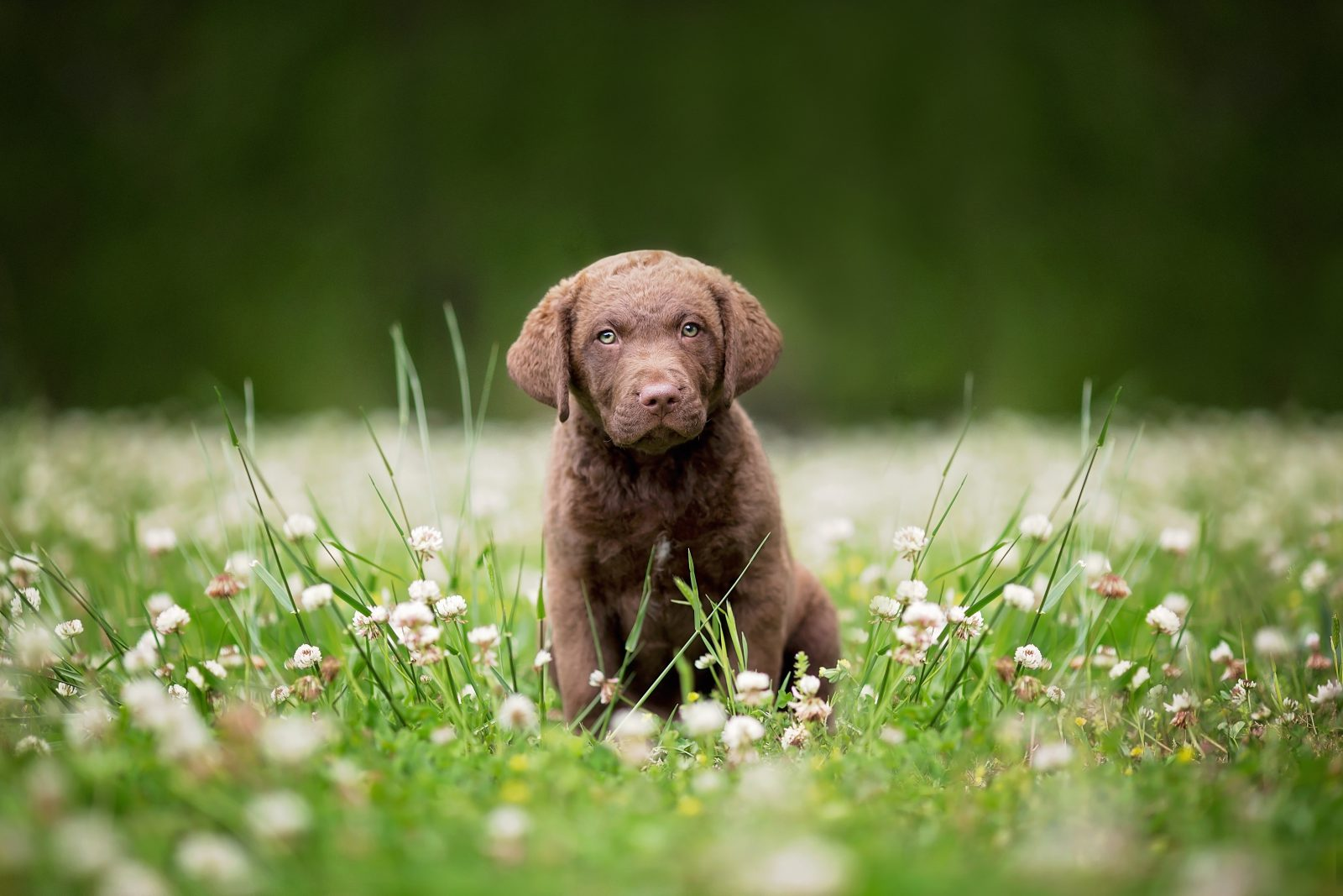 como-treinar-filhotes-chesapeake-bay-retriever