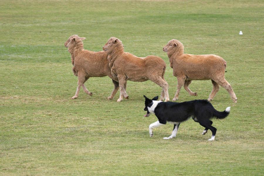 competicoes-populares-pastoreio