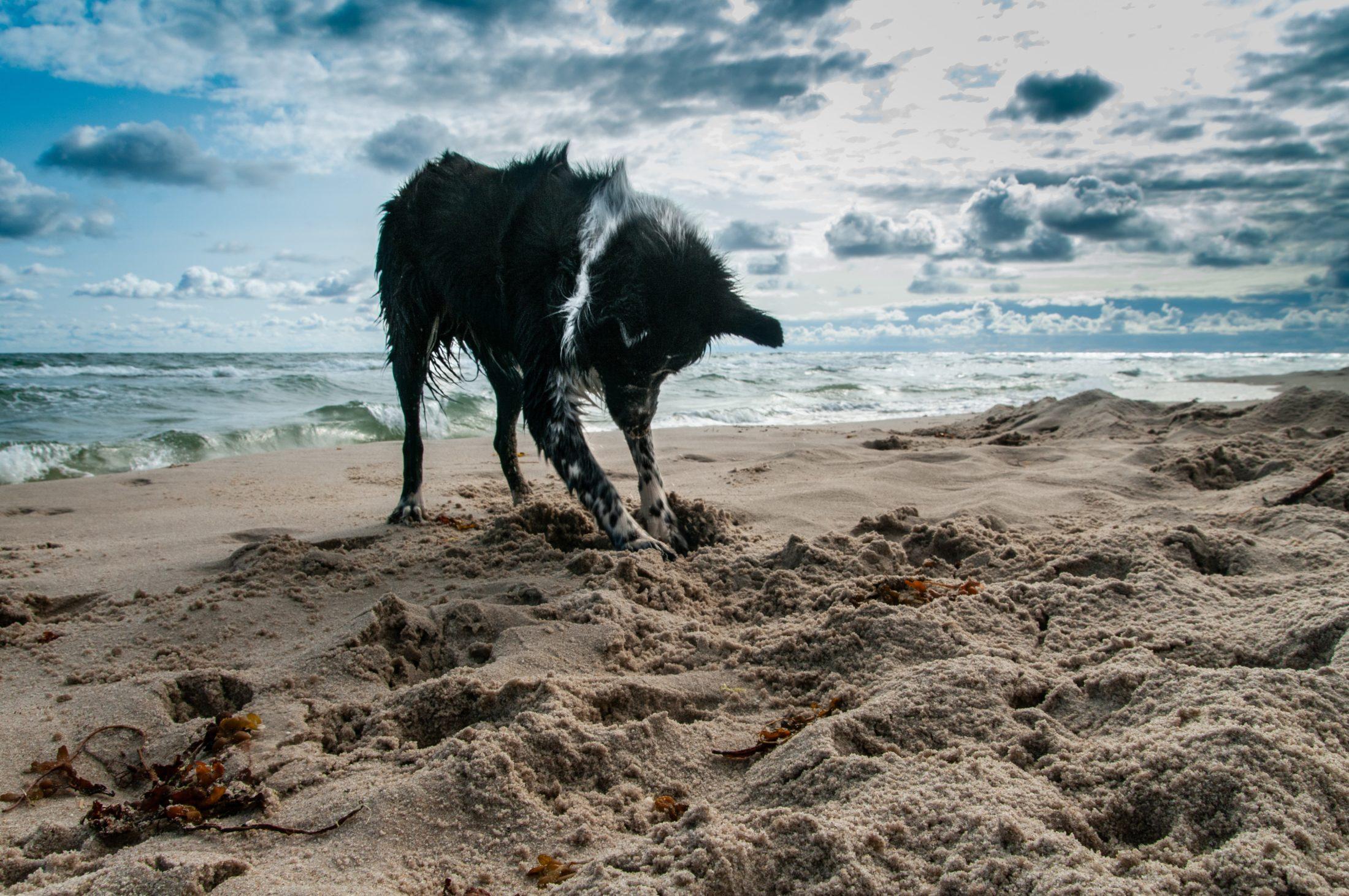 comportamento canino: cachorro cavando na areia da praia