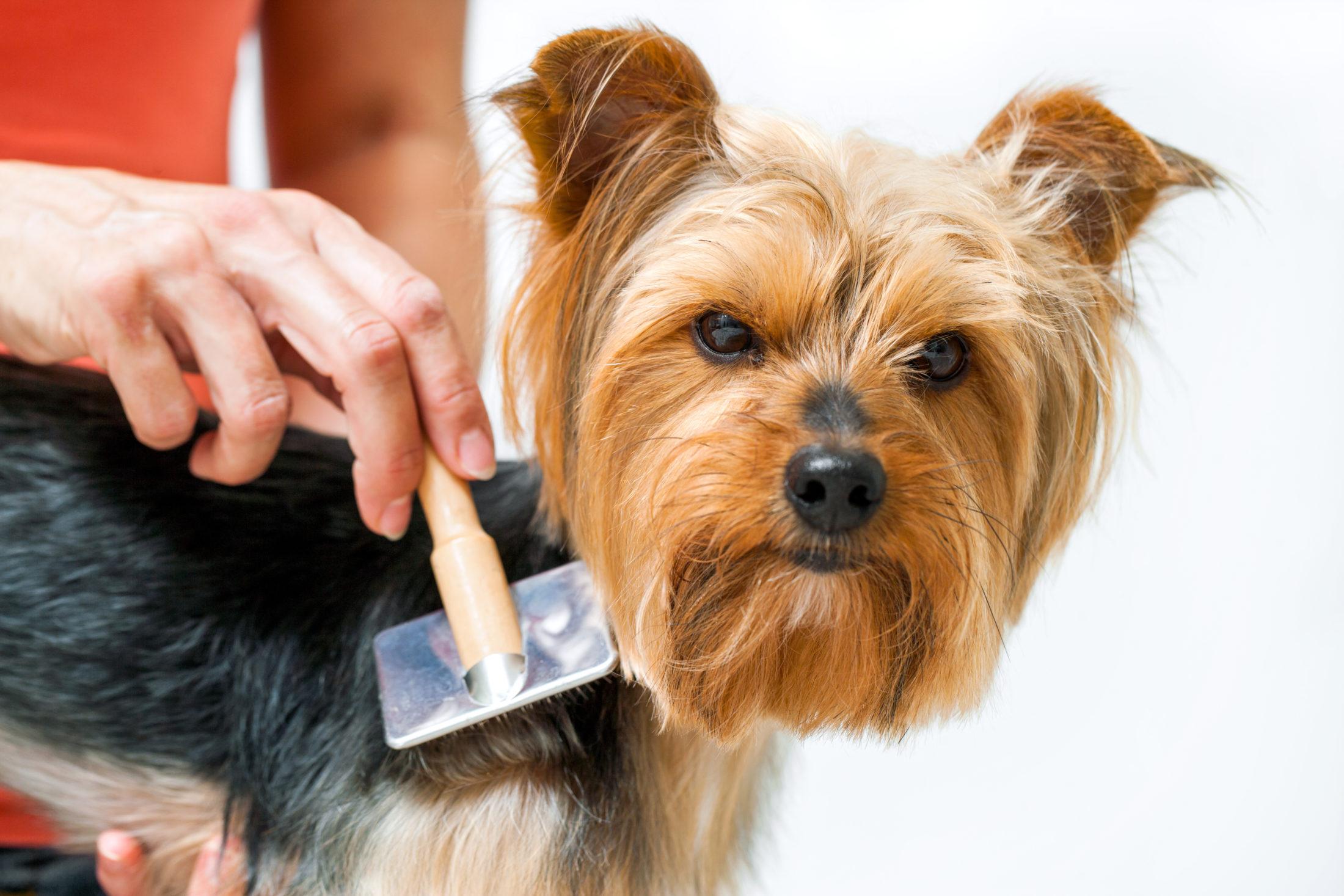 cachorro sendo escovado em casa durante a pandemia do corona vírus.