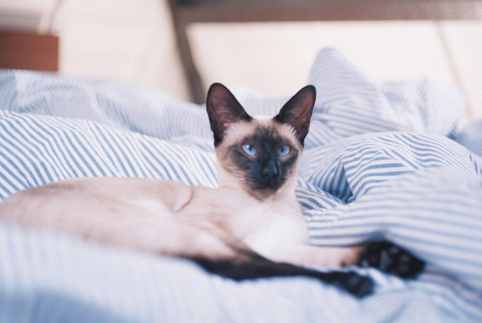 gato ocm coronavírus deitado na cama