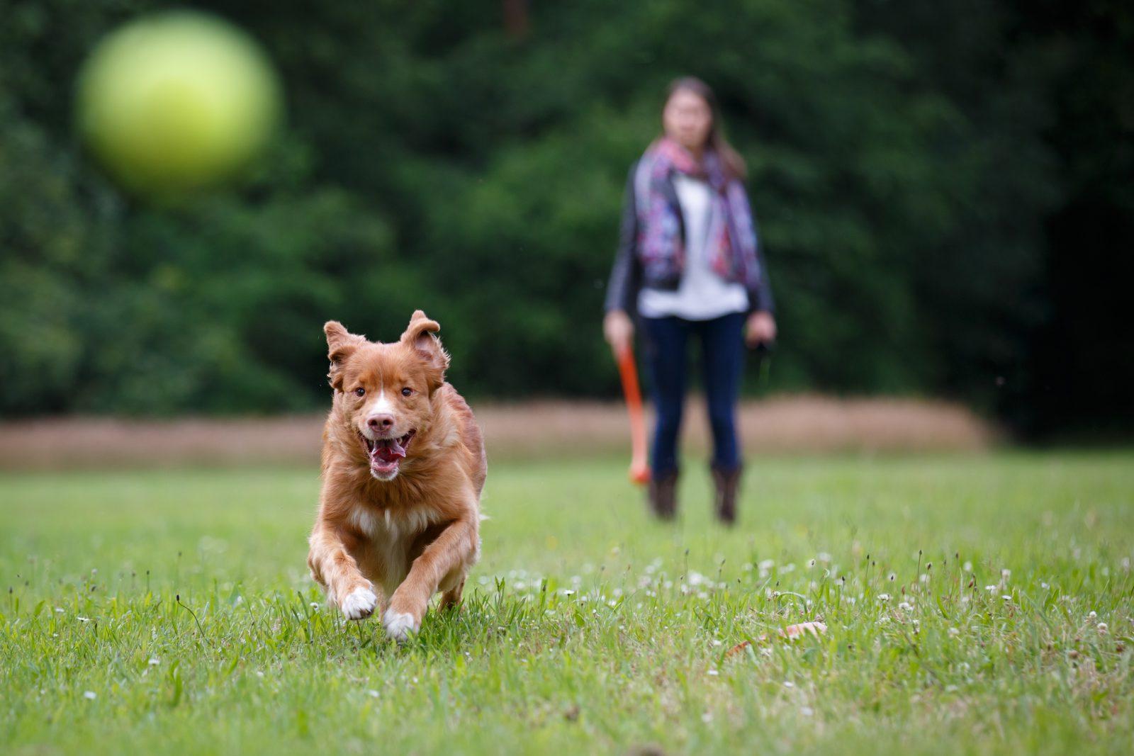 Brinquedos para cachorro idoso: Cão retriever idoso correndo para buscar a bolinha no parque.