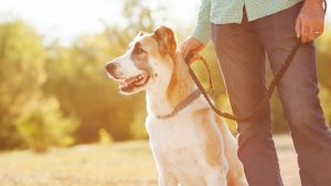 Brinquedos para cachorro idoso: cachorro passeando com seu dono na coleira.