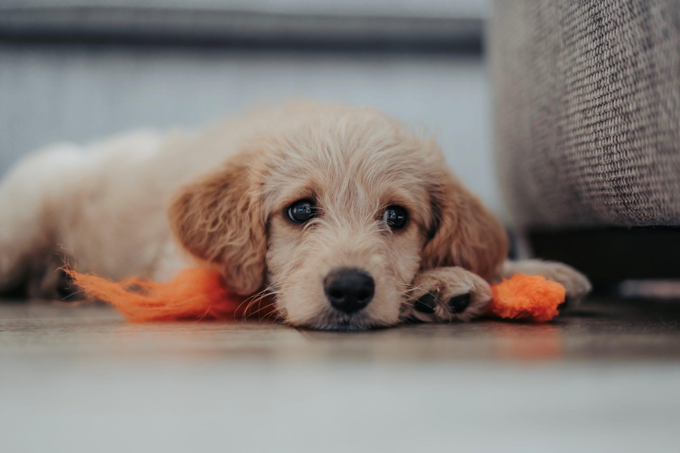 cuidados com cachorro: ansiedade por separação