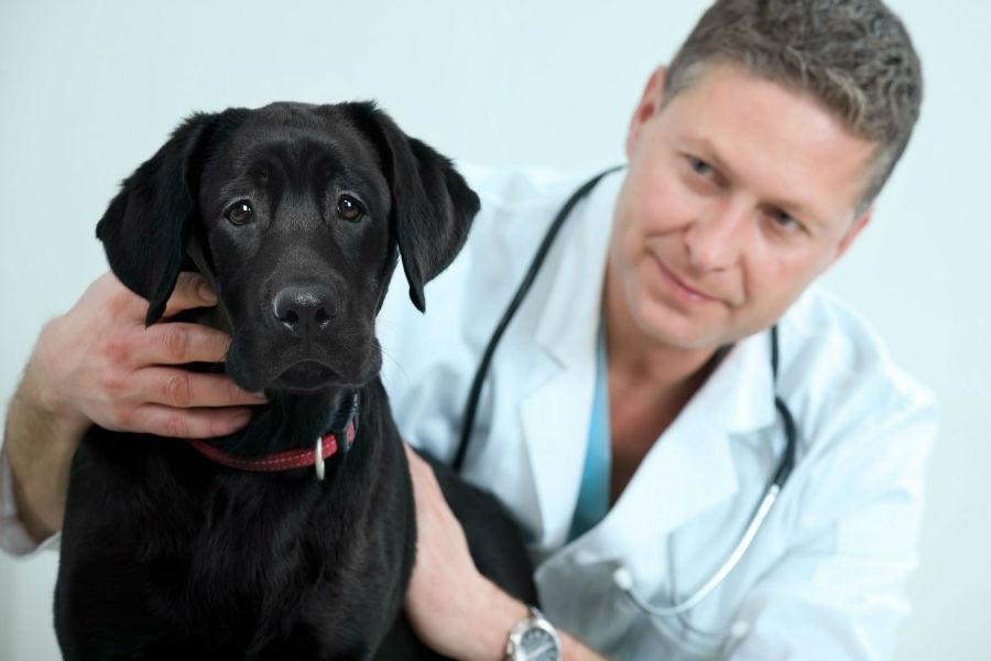 Cuidados com o cachorro: Labrador retriever fazendo o seu check-up anual no veterinário