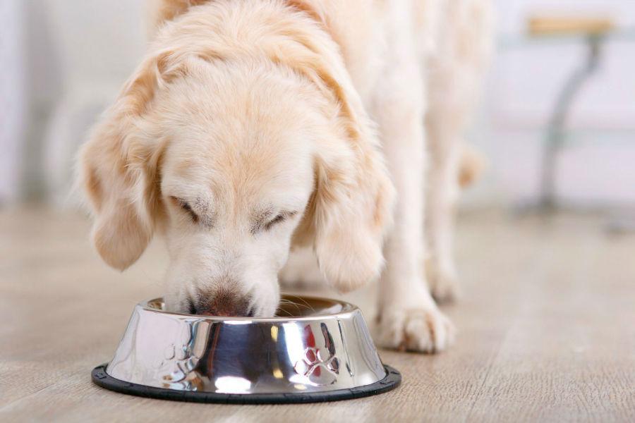 Cuidados com o cachorro: Labrador retriever se alimentando