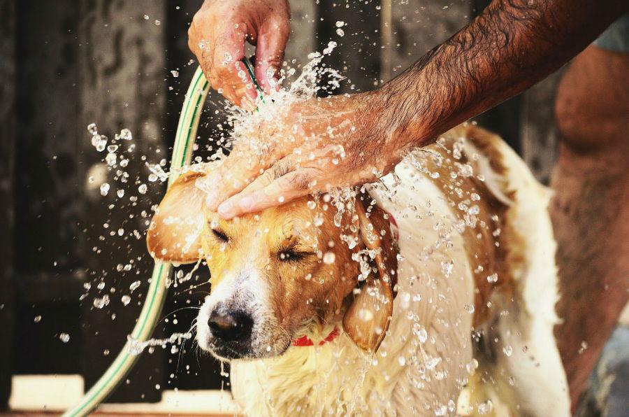 Cuidados com o cachorro: cachorro sendo refrescado na mangueira após exercícios durante o verão