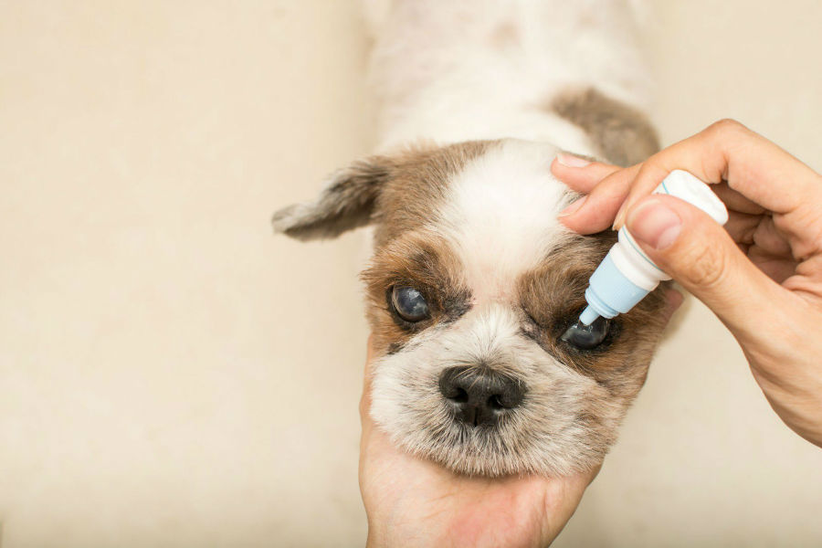 Cachorro doente pingando colírio