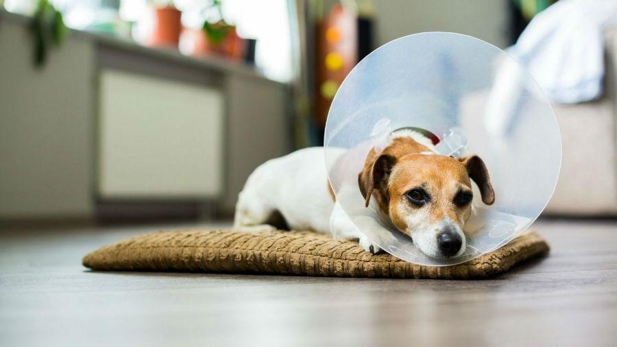 Cachorro doente se recuperando em casa de uma cirurgia