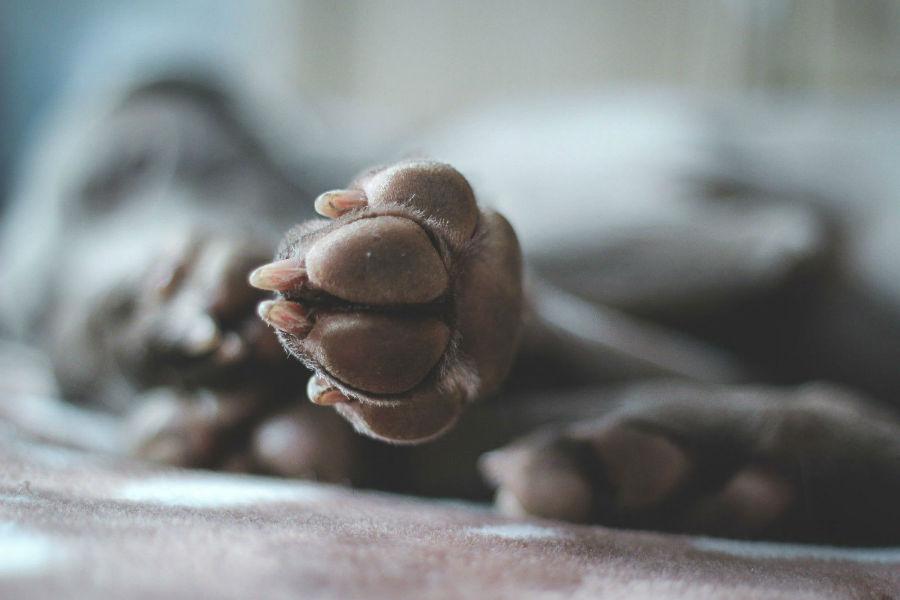 Pata de cahcorro: Aparência de patas com suas almofadas devidamente hidratadas e saudáveis