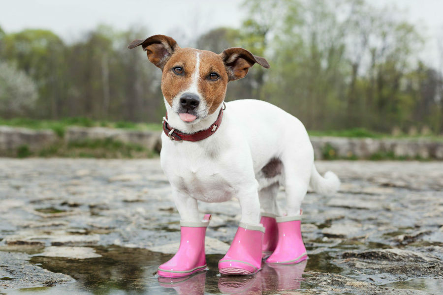 Pata de cachorro: Cachorro com botas de borracha no inverno