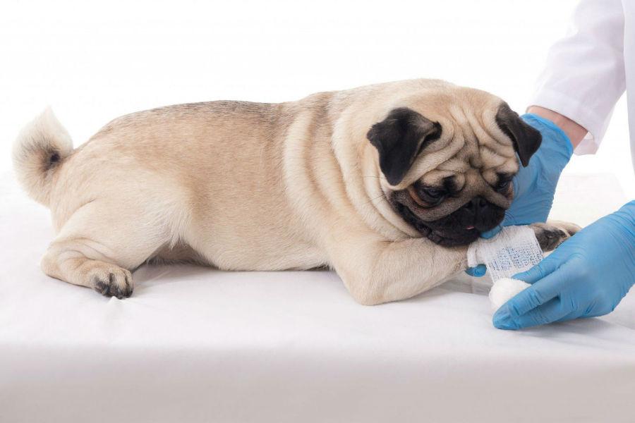 Pata de cachorro: Pug tendo suas patinhas enfaixadas