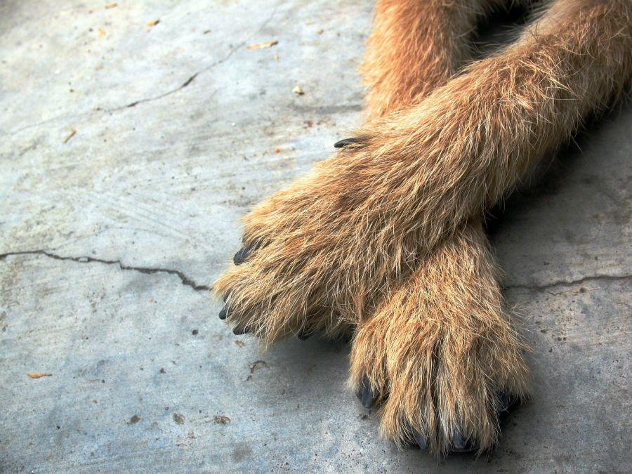Pata de cachorro: Evite superfícies quentes como o concreto durante o verão