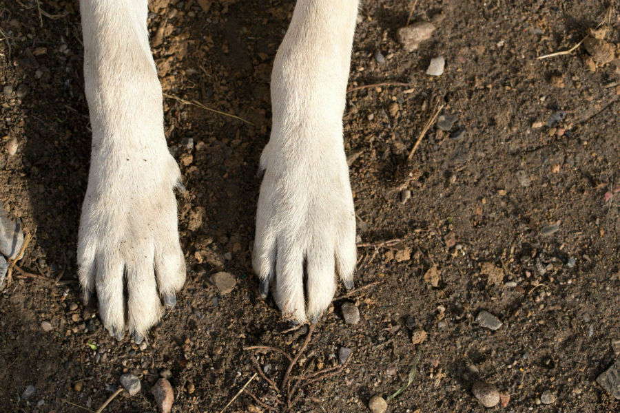 Pata de cachorro: Patas sobre terreno sujo arenoso e com pedras