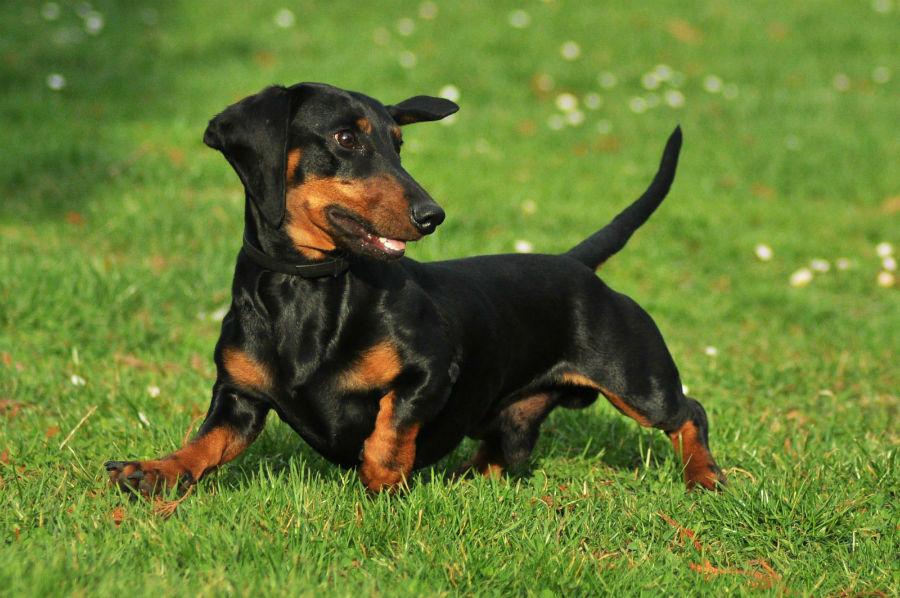 cachorro-dachshund-atividades