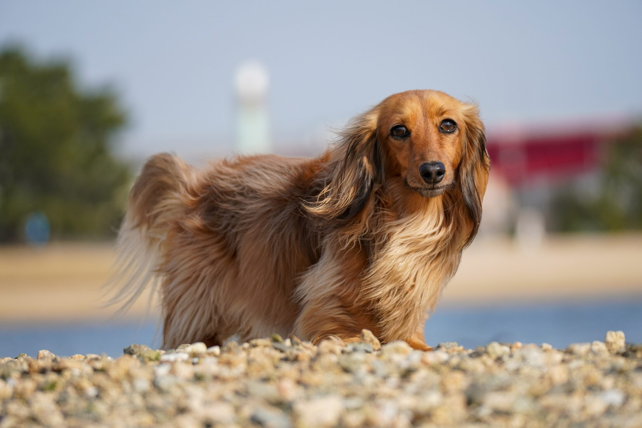 cachorro para idosos dachshund