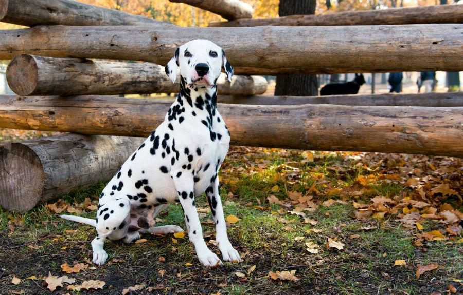 cachorro-dalmata-ambiente-ideal
