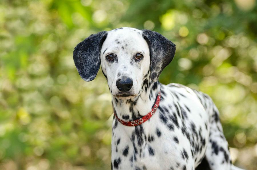 cachorro-dalmata-aparencia