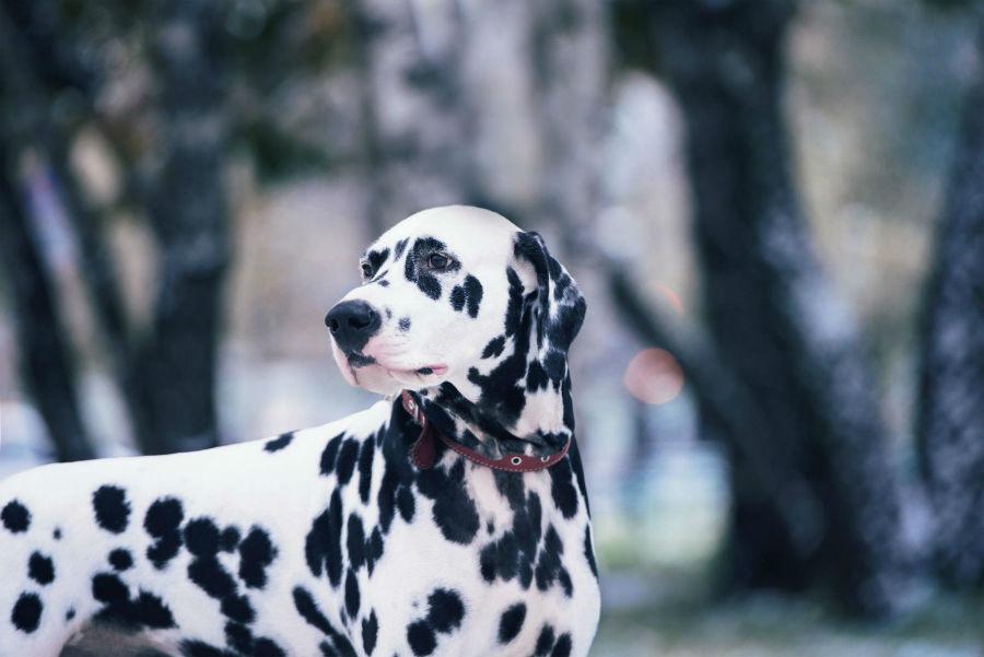 cachorro-dalmata-origem