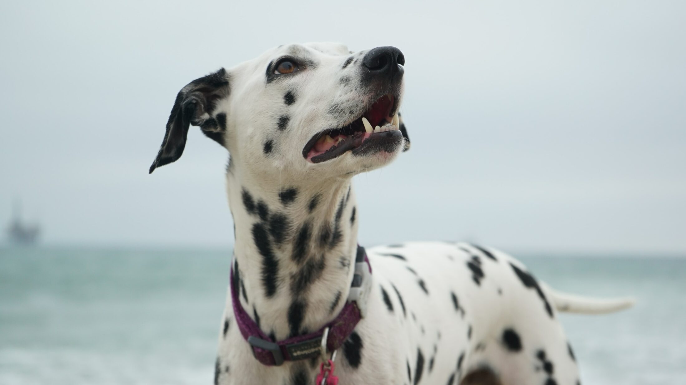 cachorro fofo - dalmata