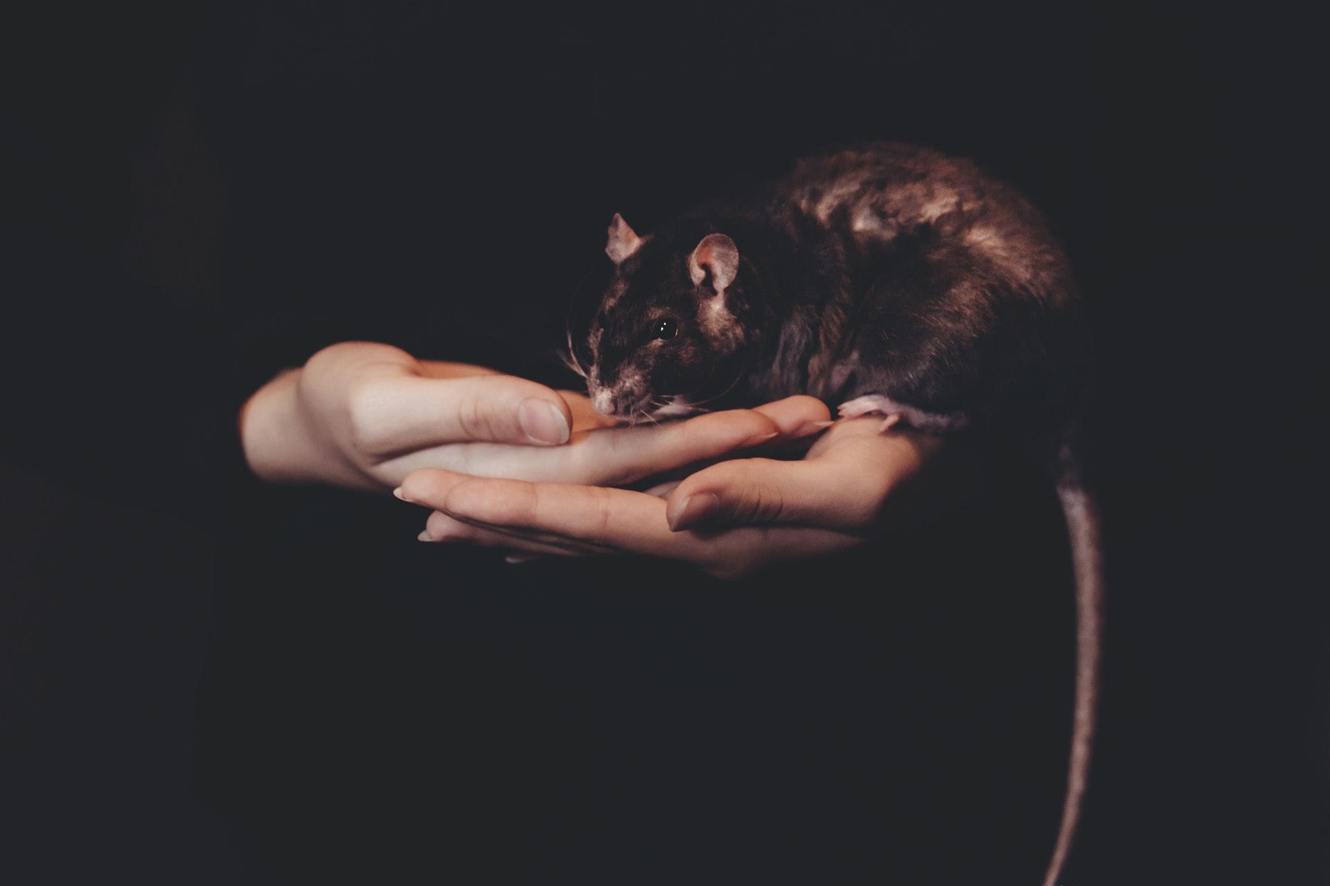 Sonhar com rato de estimação significa ter que controlar medos.