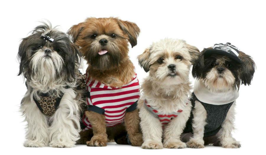 Cachorro filhote: Cachorros Shih Tzus de todas as cores e estilos.