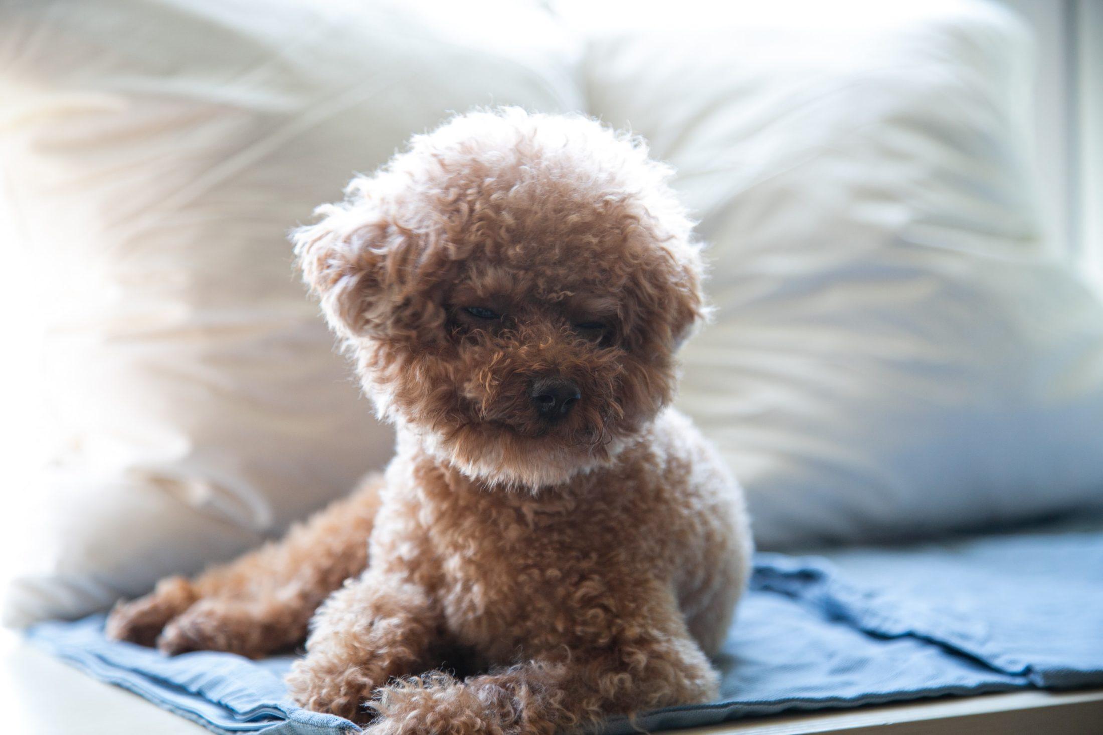 poodle deitado no sofá em cima de seu tapete