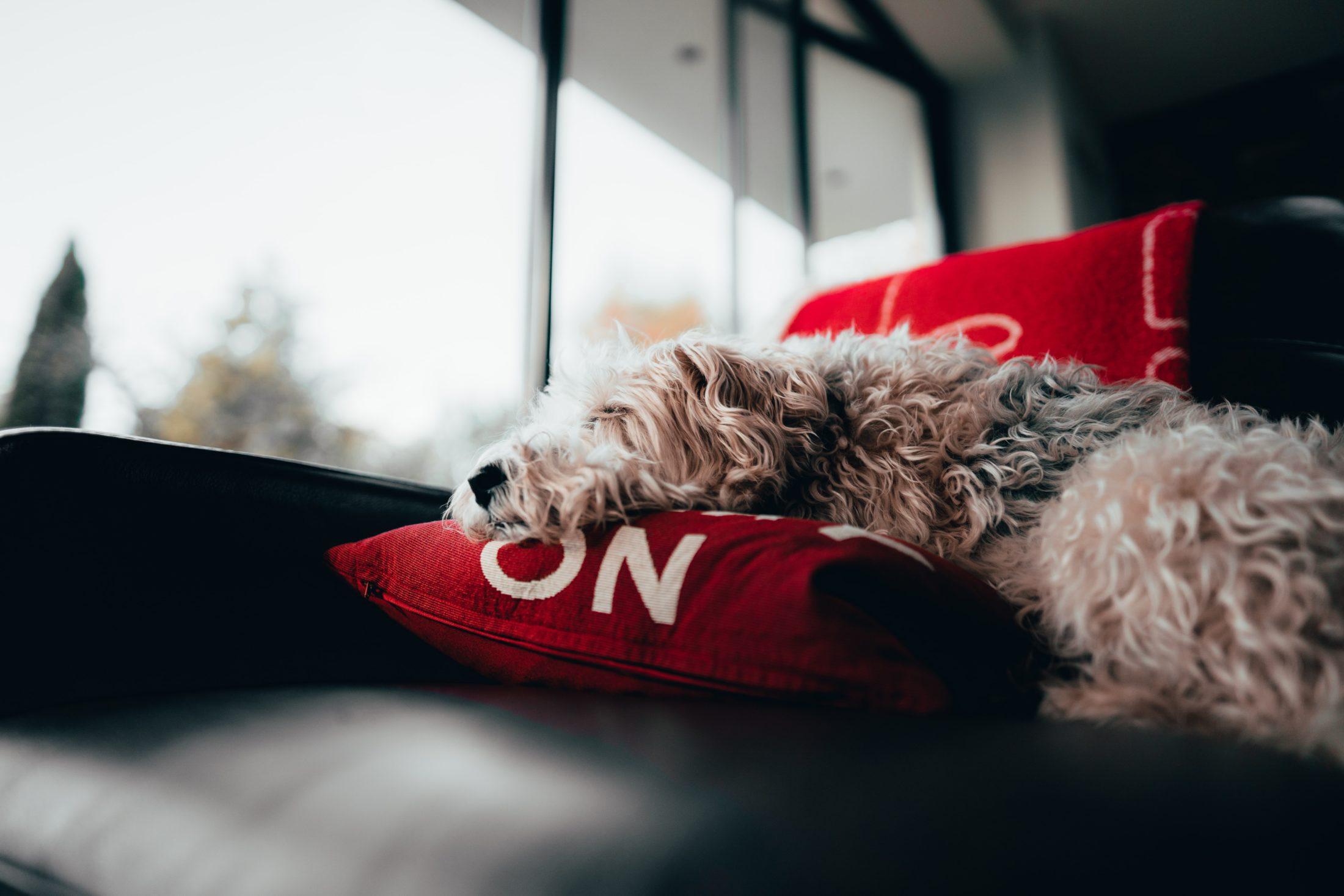 cachorro deitado em sofá em cima de almofadas vermelhas