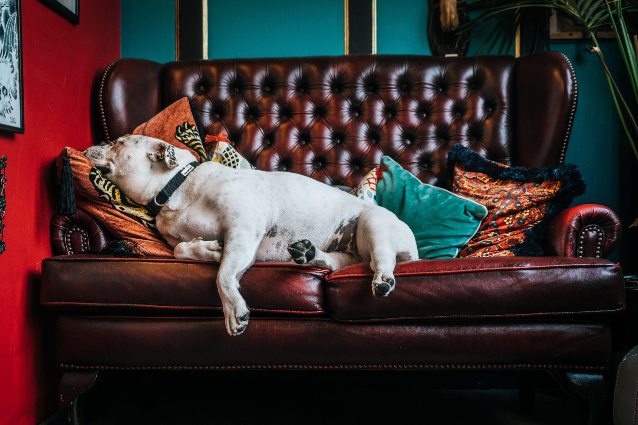 buldogue inglês deitado em sofá de couro