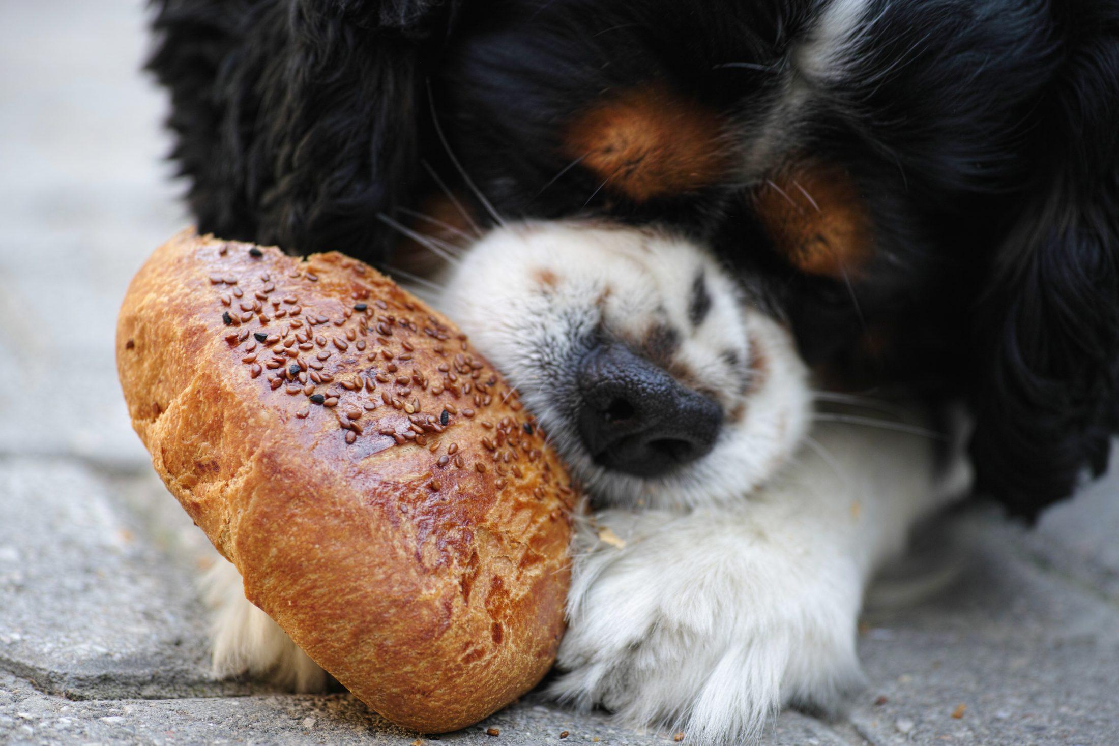 dieta alimentar: cachorro ocmendo pão