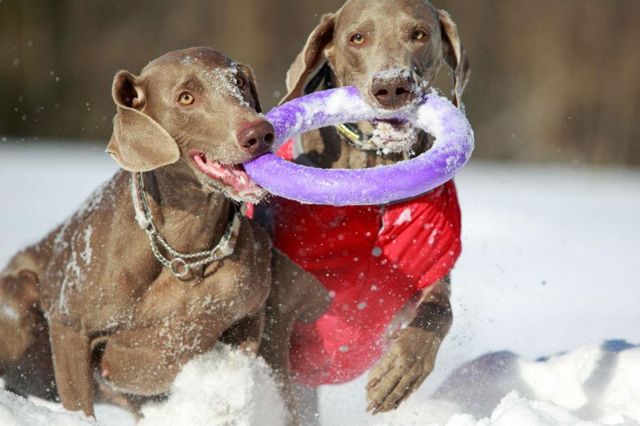 Weimaraners correndo na neve brincando de frisbee