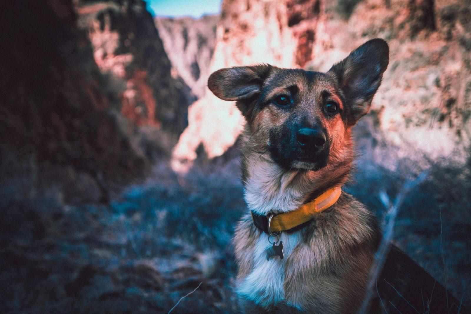 DNA de cachorro pastor alemão