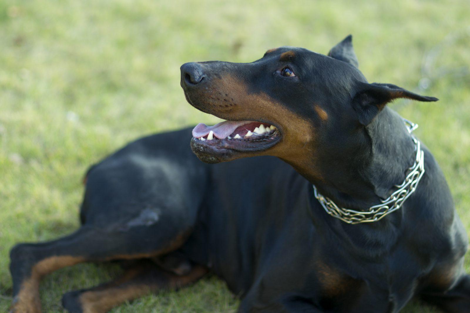 O Doberman não é umd os cachorros que babam, mas é um dos cachroros que costumam soltar muito pum.