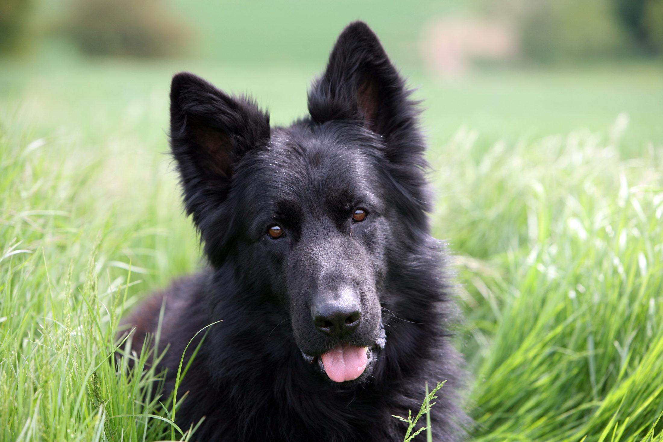 A respiração ofegante pode indicar uma doença de cachorro