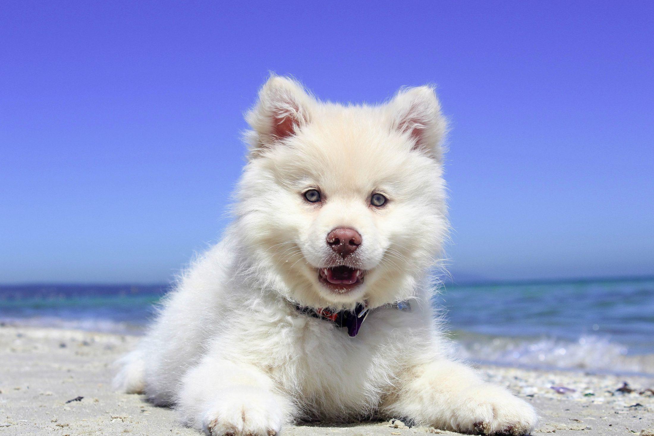 Cachorro com olhos nublados pode ser sinal de doença de cachorro como cataratas.