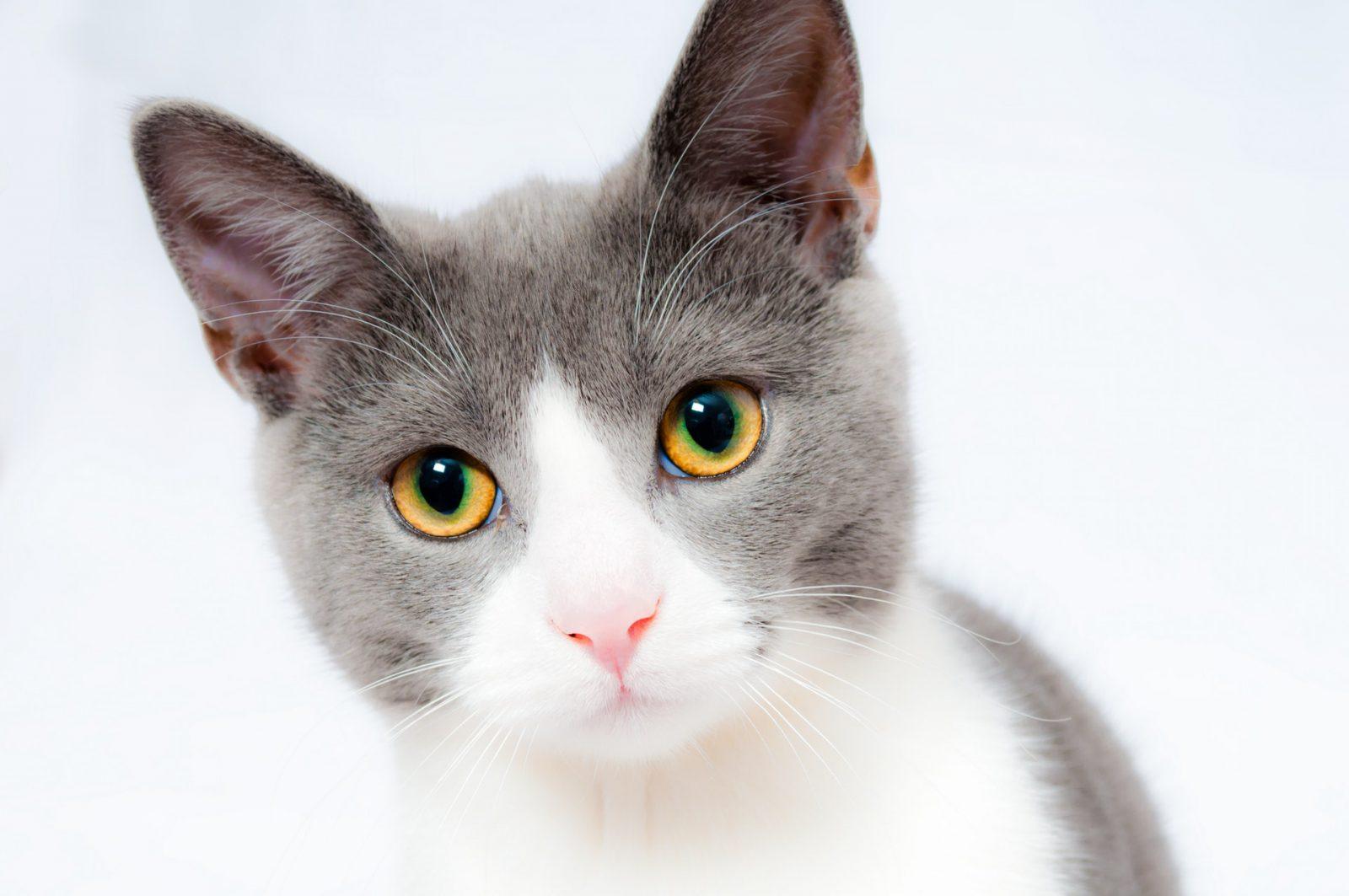 doença de gato