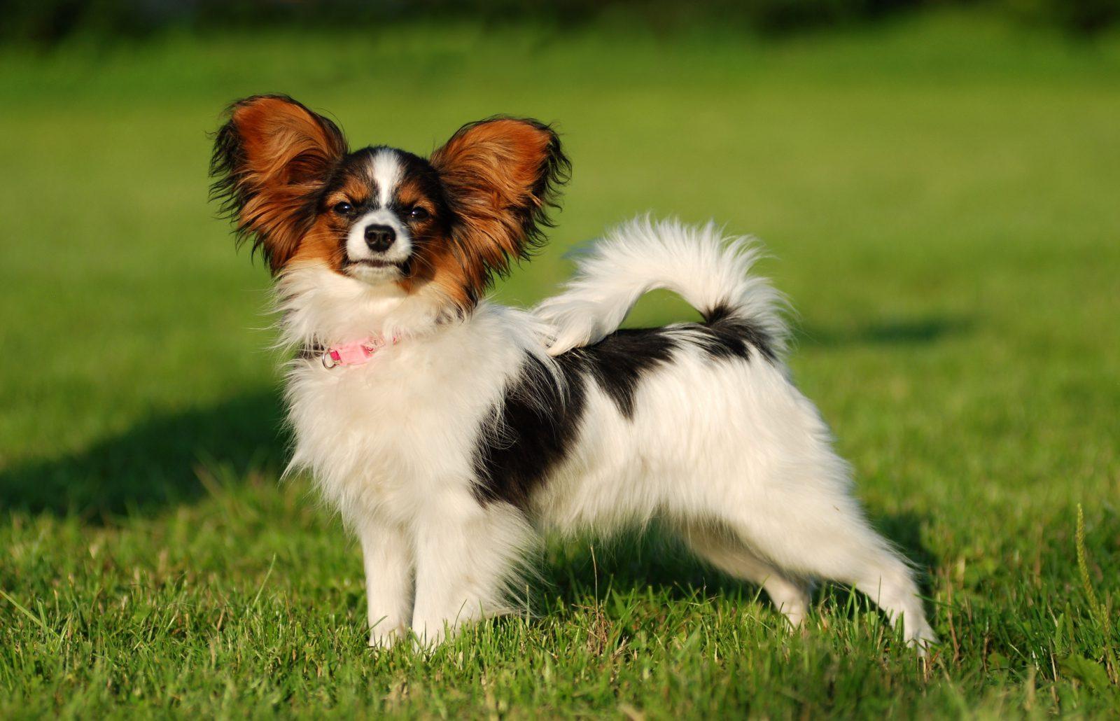 Cachorros de raça: Papillon no gramado fazendo pose.